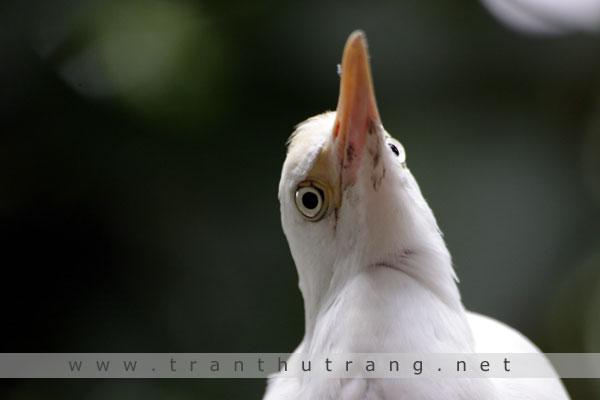 Cò ngàng (Ardea intermedia)