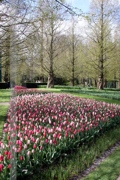 tulip042017 (1)