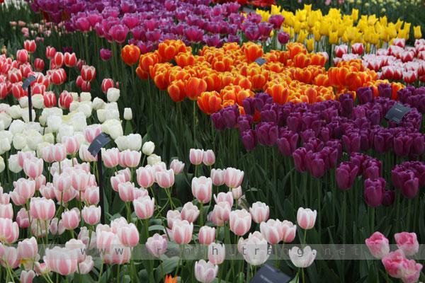 tulip042017 (3)
