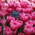 tulip042017 (4)